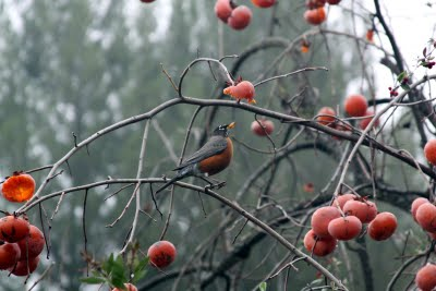 A robin perched on a persimmon tree